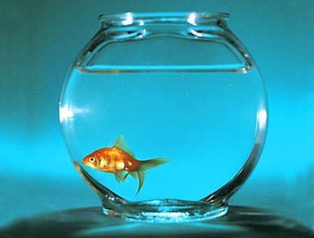 I want to be a goldfish!